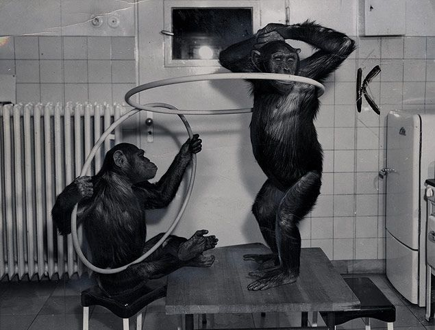 Chimpanzees Dance